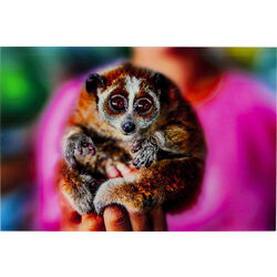 Picture Glass Slow Loris 80x120