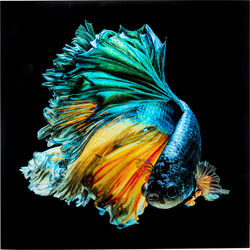 Glass Picture Aqua Queen Fish 100x100cm
